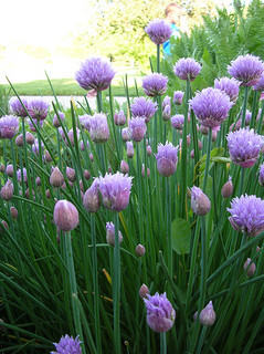 mass chives