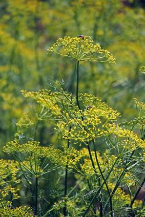 Fennel, Sweet fennel, Florence fennel, Finocchio, Foeniculum vul